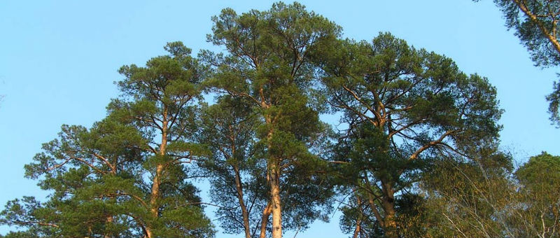 Около аэропорта Новосибирска меняют деревья